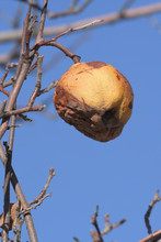 Rotten Quince