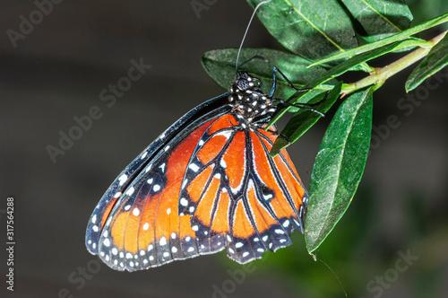 Fényképezés Monarch Butterfly Danaus plexippus