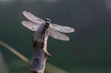 Common Clubtail, Dragonfly (Go...