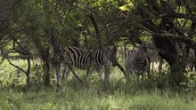 Pair Of Zebras Under Tree Shade In The Wild, South Africa