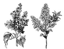 Lilac Flowers - Hand Drawn Pen...