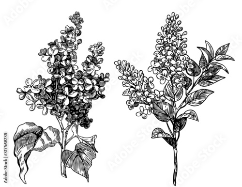 lilac flowers - hand drawn pen and ink illustration, vintage engraving