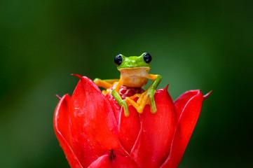 Panel Szklany Optyczne powiększenie Gliding tree frog (Agalychnis spurrelli) is a species of frog in family Hylidae. It is found in Colombia, Costa Rica, Ecuador, and Panama.