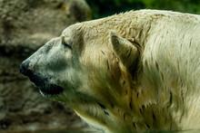 A Very Large Polar Bear Is Con...