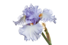 Blue Iris Flower Isolated On A...