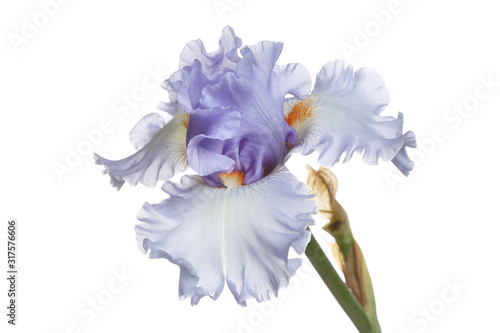 Blue iris flower Isolated on a white background. Wallpaper Mural