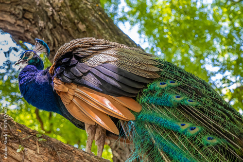 Fényképezés Indian peafowl (Pavo cristatus), also known as the common peafowl, and blue peafowl, native to the Indian subcontinent but introduced to many other countries
