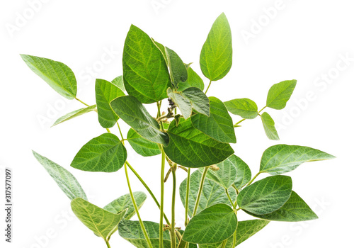Obraz Green soybean stems. - fototapety do salonu