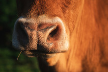 Cow Snout Close-up In Sunlight...