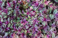 Inchplant (Tradescantia Zebrina). Beautiful Natiral Green And Purple Background