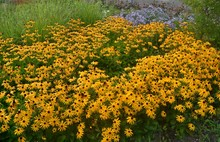 Żółte Kwiaty, Rudbekia Bły...