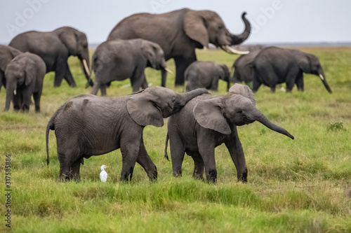 Two young elephants playing together in Africa, cute animals in the Amboseli par Canvas Print