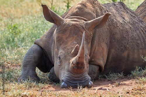 Vászonkép White Rhino lying in the shade covered in mud