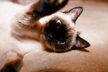 Siamese Cat Lying On Sofa Make...