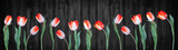 Fototapeta Tulipany - Spring background panorama banner - Red white tulips isolated on black rustic wooden wall texture
