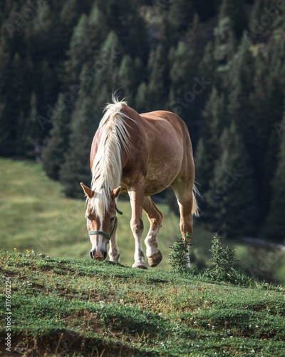 Brown horse with white mane eating grass on a hill with pine trees on the background