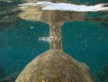 Green Sea Turtles In Hawaii On...