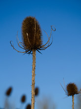 Close Up Of A Brown Teasel Wit...