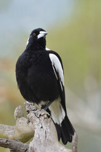 Flötenvogel Australian Magpie...