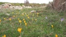 Yellow Flowered Sternbergia Lu...
