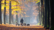Many Dogs On Leash In Autumnal Forest Near Utrecht In Holland