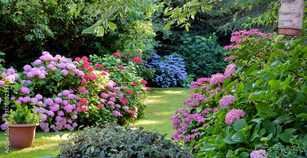 Fototapeta Beautiful garden with hydrangeas in Brittany