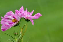 Macro Of Two Entwined Pink And White Cosmos Against A Beautiful Green Background