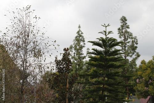 Fototapeta Treetops on a Gloomy Day