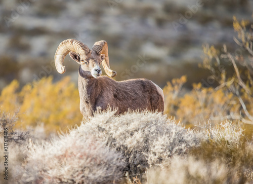 Photo Endangered desert bighorn sheep