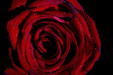 Red Roses For Gifting At Valen...