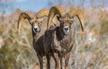 Endangered Desert Bighorn Sheep