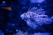 Pterois Volitans Lionfish Is S...
