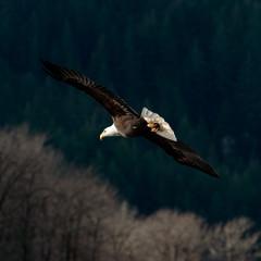 Fototapeta Ptaki Bald Eagle