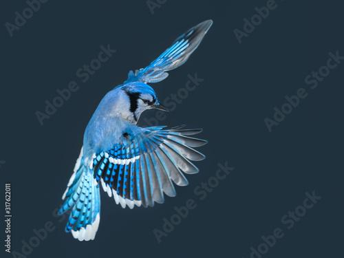 Blue Jay in Flight in Winter Fototapeta