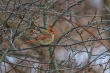 Female Northern Cardinal Eating A Small Seed In A Thicket.