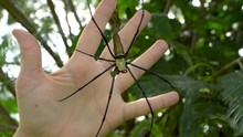 Large Orb Weaver Spider On Web, Comparing Size To Hand, Nephila Pilipes
