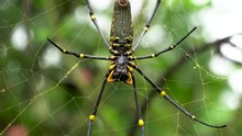 Colorful Female Nephila Pilipes Resting On Golden Web, Spider Macro