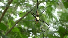 Huge Golden Orb Weaver Spider On Web With Red Pedipalp, Nephila Pilipes