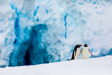 Gentoo Penguin Couple Cuddling...