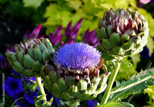 Cardoon plant, also known as the artichoke thistle or globe artichoke Canvas Print