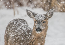 White-tailed Deer In Winter Storm