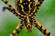 Argiope Aurantia Black And Yellow Garden Spider Scary Closeup Head Shot, Macro Photo, Green Background, Web, Blurred Background