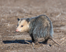 Opossum In The Open