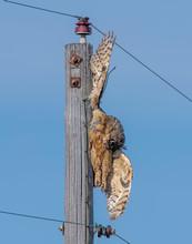 Great Horned Owl Dead On A Pow...