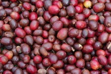 Coffee Berries Shown Drying Ou...