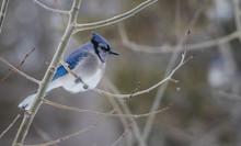 Winter Bluejay Perched On Tree...