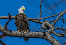 Bald Eagles Perched On Tree Br...