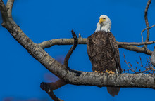 Bald Eagles Perched On Tree Branch