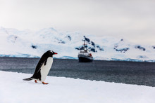 Gentoo Penguin On The Snow And...