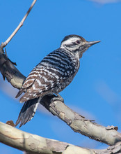 Ladder-backed Woodpecker On A Perch